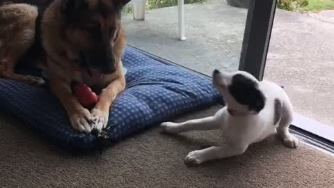 Rescue puppy meets old ex-police dog