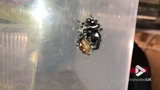 Jumping spider Mating - Video