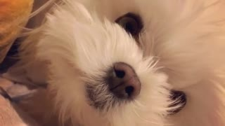 small white maltese dog pops up from pillow  - Video