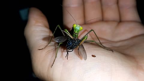 Praying mantis eating a big fly right on my hand