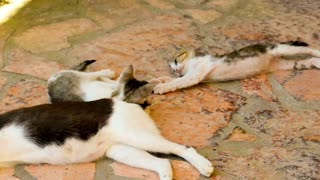 2 cats playing by their Mom's tail