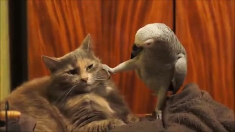 Parrot wants to play with that cat, but the cat is absolutely tired of the bird's antics !