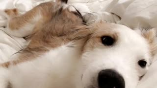 White dog laying on bed moving head - Video