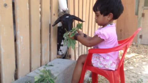 Giving is everything - Little girl feeding goats
