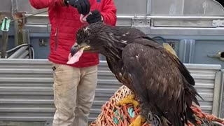 Hand Feeding A Beautiful Bald Eagle