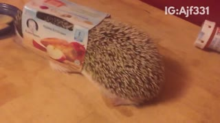 Hedgehog stuck with baby food box on it - Video