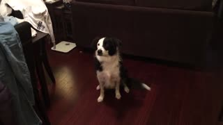 Border Collie is a breakdancing phenom!