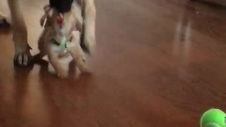 Big dog steals toy accidentally tosses puppy - Video