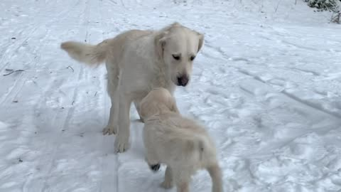 Golden Retriever Puppy Meets Older Sister