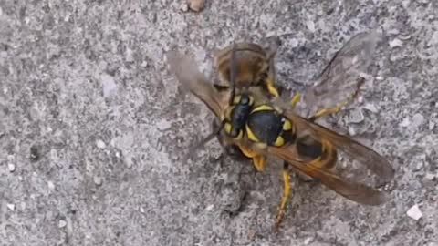 Showdown to death Bee with a Wasp