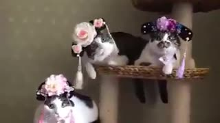 Princess cats model fancy new hats - Video
