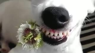 Watch This Amazing White Dog - Video