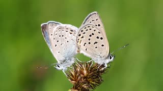 White butterfly making love on a flower