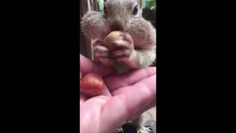 Pet squirrel can fit 8 acorns in His cheeks!