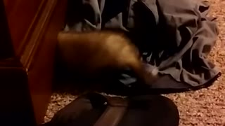 Adorable baby ferret, something is under there.
