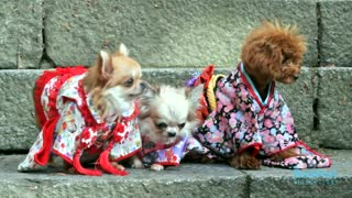 Dogs around the world - Japan edition - Video