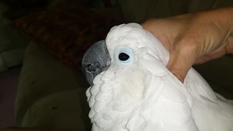 Young cockatoo can't get enough cuddles