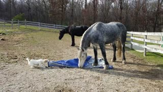 Tiny dog challenges massive horse to tug-of-war match
