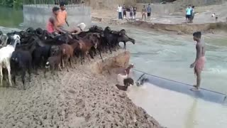 A Unique Technique Of Goats Crossing River
