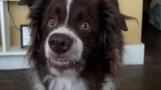 Goofy Dog Flashes Hilarious Smile For Camera - Video