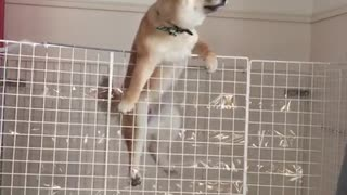 Shiba inu puppy makes epic prison break - Video