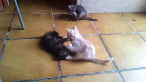 Lttle cats playng