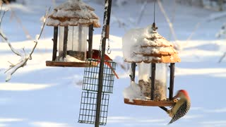 A very cool video of a group of birds eating food in a snowy area