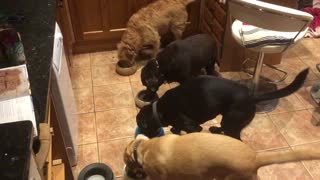 Four dogs eat in perfect synchronization - Video