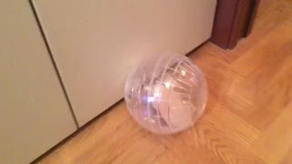 Hamster In the Exercise Ball  - Video