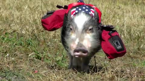 Stylish mini pig goes for backpacking adventure