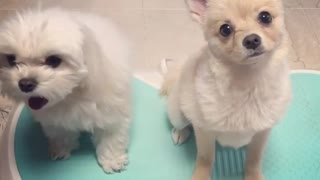 Two white dogs on blue shake board - Video