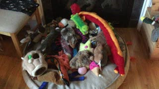 Silly Puppy Chooses Crumpled Paper As Favorite Amidst Mountain Of Toys - Video