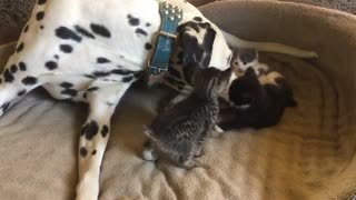 Dalmatian babysitter gently plays with foster kittens - Video