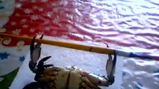 Crab doing a barbell workout to fault - Video