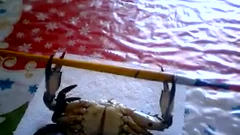 Crab Doing a Barbell Workout to Fault
