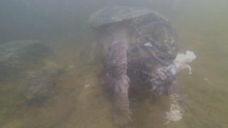 Swimming With A Snapping Turtle - Video