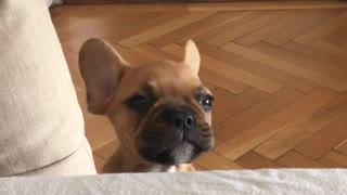 French Bulldog puppy fake-sobs for attention - Video