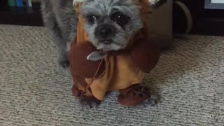 Dog hates his Ewok Halloween costume - Video