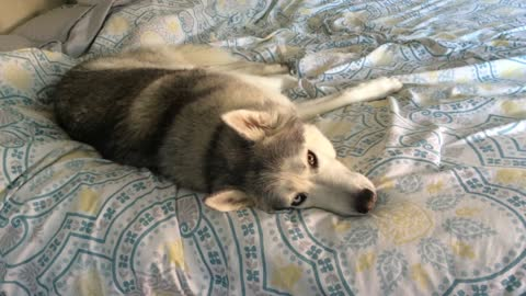 Stubborn Husky Has A Hard Time Leaving Cozy Bed