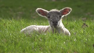 Watch the little lamb lying on the grass and looking at the camera in the countryside farm