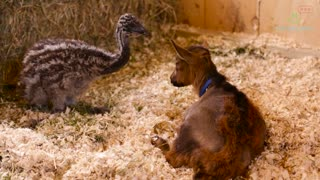 The Most Adorable Baby Goat Love Story You Will Ever See - Video