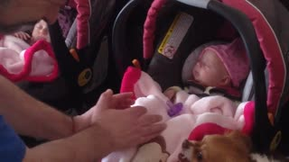 Chihuahua protects newborn twin girls - Video