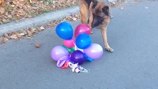 Dog Loves Popping Balloons