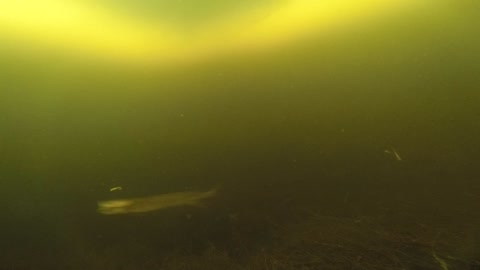 Rare under ice footage of northern pike striking lures
