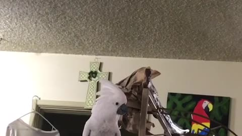 cookie the Cockatoo yells for her human Dad to COME BACK RIGHT NOW