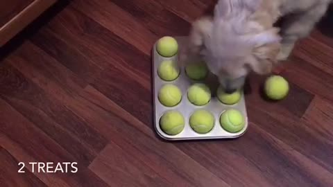4-month-old Golden Retriever solves DIY puzzle with ease!