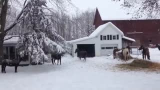 Happy Horses Making Snow Angels - Video