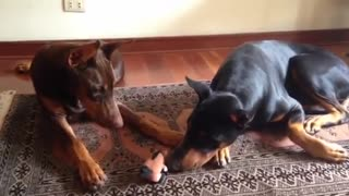 Doberman protects little pony stuffed animal - Video