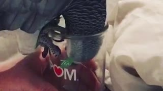 African grey wants everything owner has  - Video