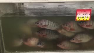 Oriental Grocery Store Live Tilapia Fish Fresh Seafood Department Tank - Video